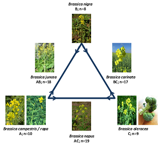 Oxidative stress and antioxidant defense in Brassicaceae plants under abiotic stresses
