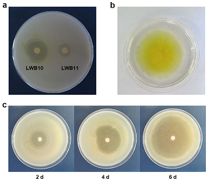 Identification and Characterization of a Pseudomonas mosselii strain and its Antibacterial Function against Agrobacterium tumefaciens