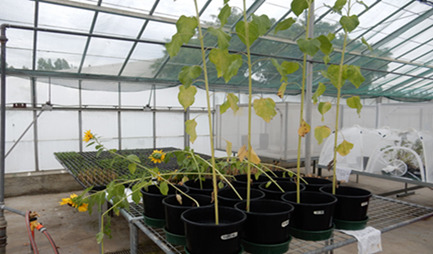 Biochemical changes in sunflower plant exposed to silver nanoparticles / silver ions